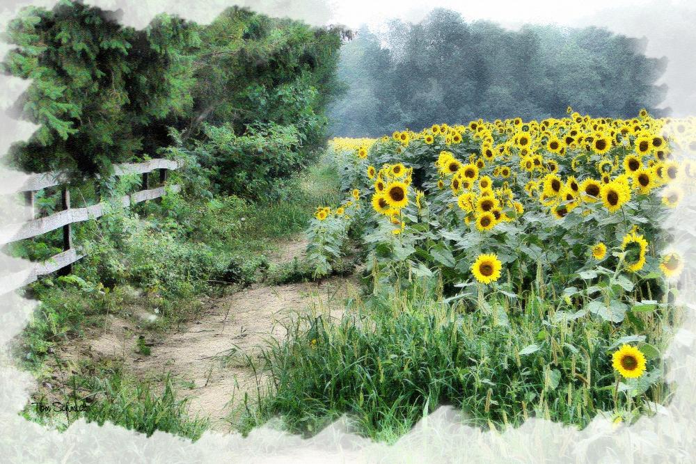 """""""Sunflower Field"""" by Tom Schmidt, watercolor, 2009."""