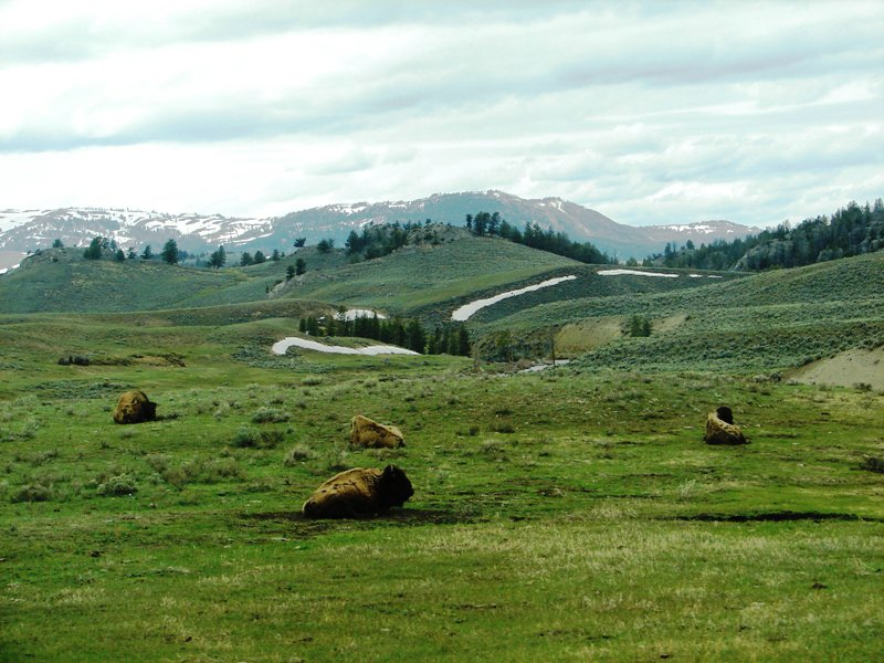 American bison resting in Yellowstone National Park.