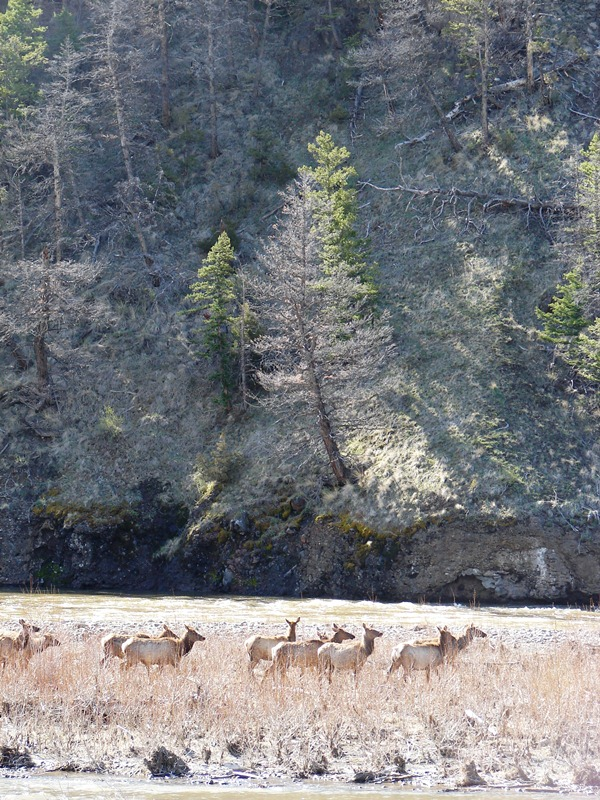 Herd of elk in Shoshone National Forest.