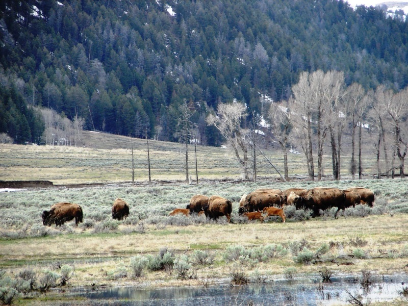 American bison and their calves grazing Lamar Valley.