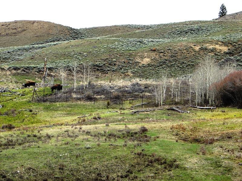 American bison grazing on a hillside.