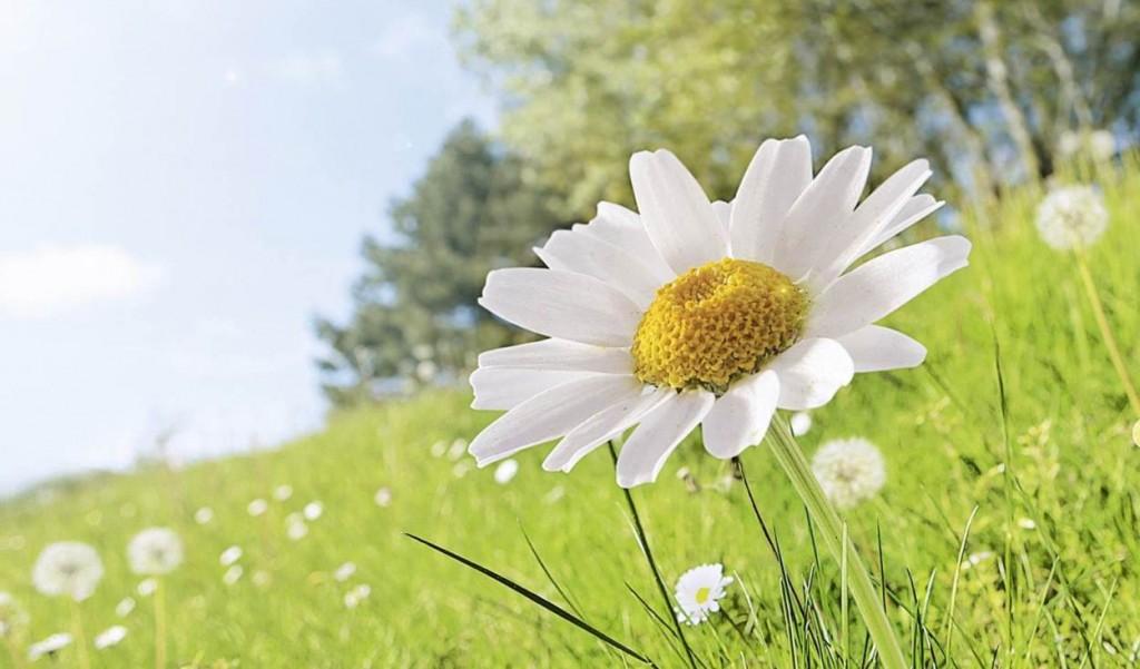 Daisy in a field