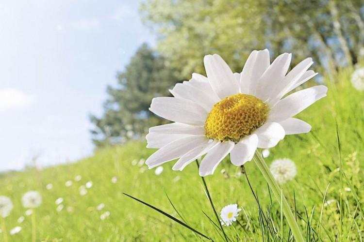 Daisy in field