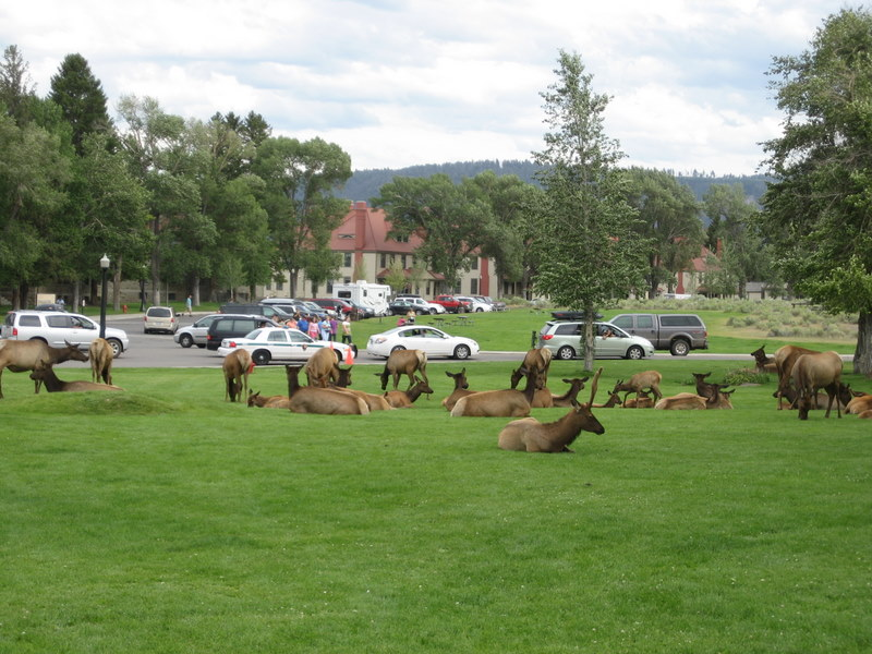 Elk at Mammoth Hot Springs. (Photo: Jenny Patterson)