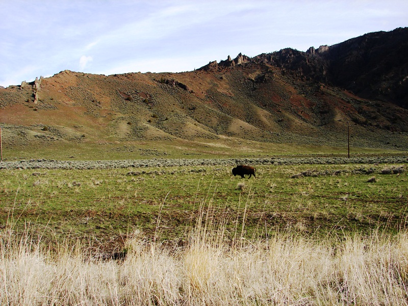 Imagine my delight at our first sighting of free-roaming American bison.