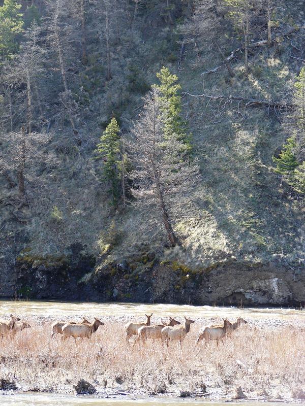 Herd of elk in Shoshone National Forest.