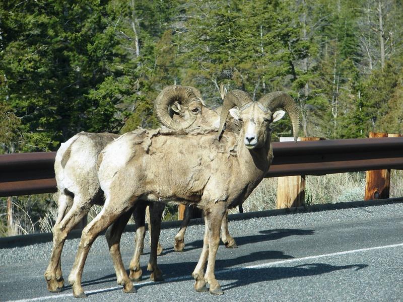 Ram, of the Rocky Mountain Bighorn type.