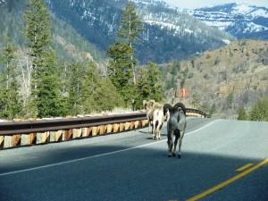 Bighorns walking towards Yellowstone.