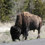 Buffalo grazing before walking on.