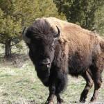 A big bull briefly makes eye contact.