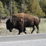 Buffalo meandering on by.