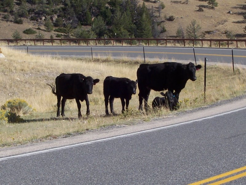 Cattle on the Chief Joseph Scenic Byway. (Photo: Knight Adventures)