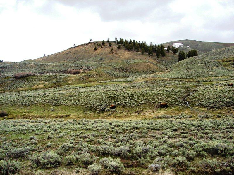Buffalo grazing on the open range.