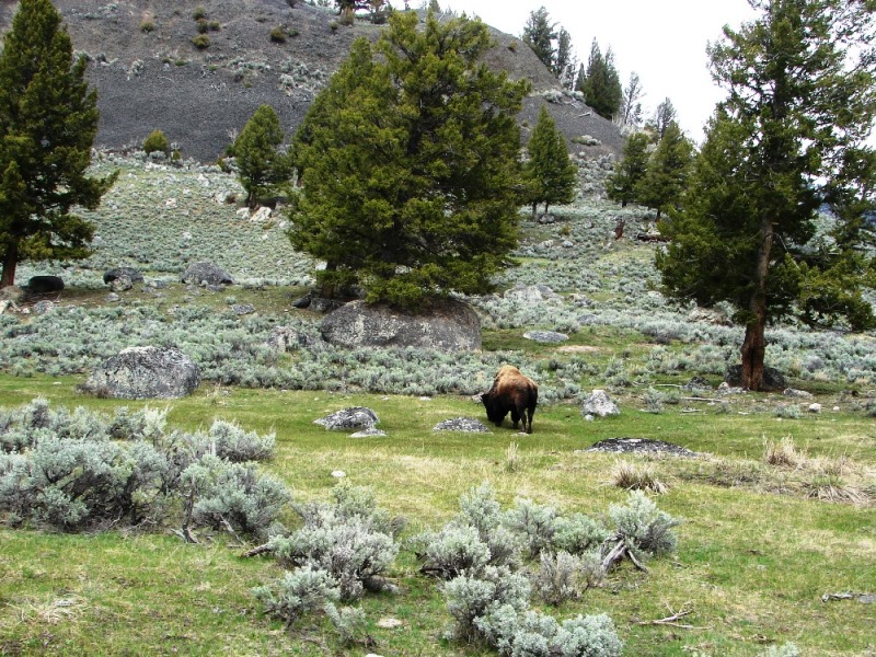 A lone bison grazes on a sage brush slope.